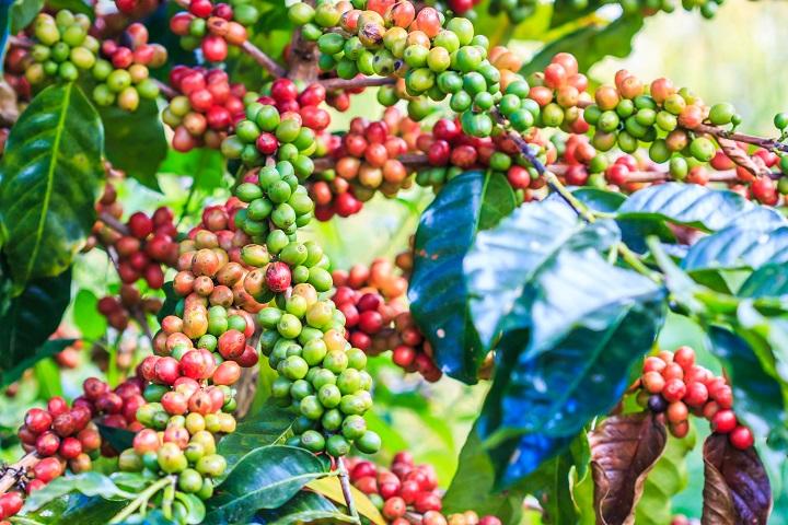 Benefits of Organic Coffee