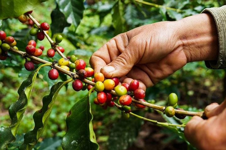 Organic Coffee Standards - Organic Growing