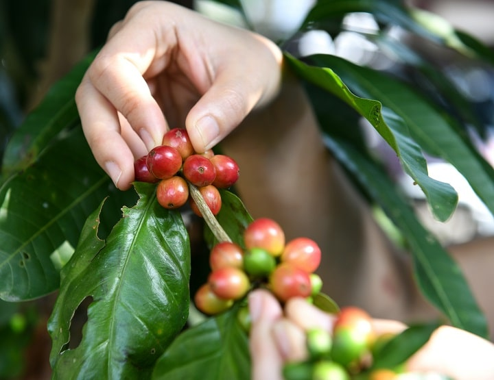 Naturally Processed Costa Rican Coffee