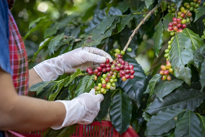 Grades of Kona Coffee