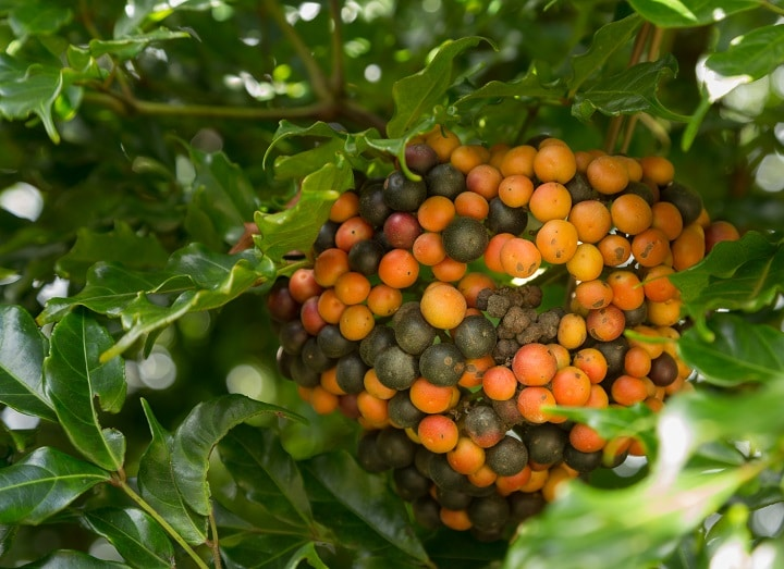 How Does Kona Coffee Work
