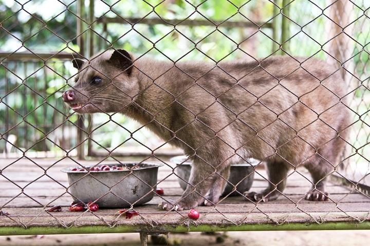 How Does Kopi Luwak Work