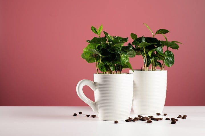 FAQ About Growing Coffee