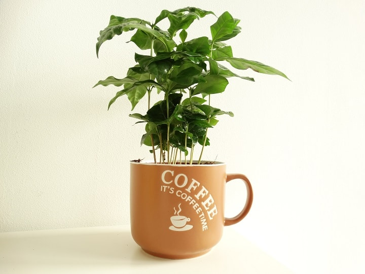 Pros and Cons of Growing Coffee